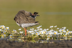 Makeup-yoga ;-) (Svitlana Tkach) Tags: wild wildbird bird nature wildlife birdwathing wader tringatotanus commonredshank травник rødben rotschenkel archibebecomún chevaliergambette pettegola アカアシシギ rødstilk pernavermelhacomum rödbena коловодникзвичайний 红脚鹬 kalužiakčervenonohý maçaricodepernavermelha krwawodziób tureluur akaashishigi stelkur punajalkaviklo vodoušrudonohý