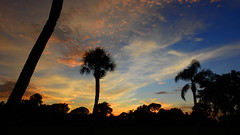 Bradenton Sunset (Jim Mullhaupt) Tags: sunset sundown dusk sun evening endofday sky clouds color red gold orange pink yellow blue tree palm outdoor silhouette weather tropical exotic wallpaper landscape nikon coolpix p900 jimmullhaupt manateecounty bradenton florida cloudsstormssunsetssunrises photo flickr geographic picture pictures camera snapshot photography nikoncoolpixp900 nikonp900 coolpixp900