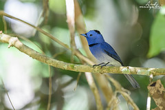 Black Naped Monarch (Ard.Pixtures) Tags: explore bird birds flycatcher monarch birding birdphotography birdwatching birdwatcher nikon nikonflickraward nikkor forest jungle nature wild wildlife aperture shutter d750 malaysia malaysiaphotography pahang green tree ecotourism