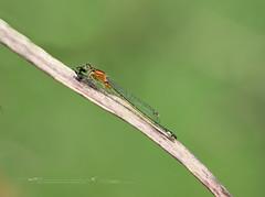 Ischnura graellsii (Emilio Rico Uhia) Tags: procesadas20182º macrosdejunio2018 libelulas insectos emilioricouhia nikond7200 sigma105macro villalonga sanxenxo pontevedra galicia españa