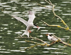 Common Tern feeding time (brianwaller703) Tags: common terns