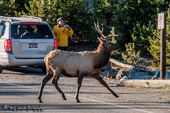 Elk | Yellowstone National Park | Wyoming (M.J. Scanlon) Tags: 20d animal beauty camera canon capture digital elk herd image mjscanlon mjscanlonphotography mojo nps nationalpark outdoor outdoors outside park photo photog photograph photographer photography picture scanlon scene scenic wild wilderness wow wyoming yellowstone yellowstonenationalpark ©mjscanlon ©mjscanlonphotography