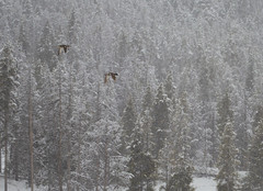 Yellowstone Mallards_3RR1579 (RRobertsphoto) Tags: mallards ducks flight snow yellowstone