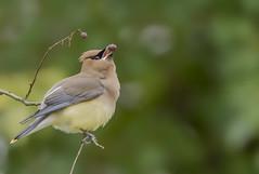 Cedar Waxwing - Bombycilla cedrorum (AnthonyVanSchoor) Tags: cedar waxwing bombycilla cedrorum howardcountymd howardcountybirdclub birding bird birdphotography birdshare birdwatchingmagazine marylandbiodiversityproject