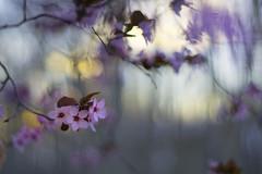The date// La cita (Mireia B. L.) Tags: bokeh pentacon pentacon50mm pentacon18 bokehvintagelens vintagelens flowers pinkflowers sunset spring primavera flores floresrosas atardecer love amor 7dwf