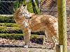 DSCN8552_3.2_reduziert_komprimiert (patric.gangler) Tags: zaun wolf wolfparkwernerfreund merzig saarland tierfotografie animalsphotography nikonfotografie nikonphotography nikonphotographers nikon coolpix b500