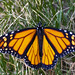 butterfly (Callistas_creations) Tags: butterfly moth