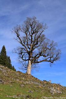 SF_IMG_8383 - Lonely tree, Oberi Ripa, Gruyère region - Switzerland