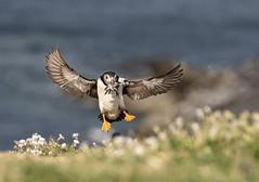 Skomer Puffins (Cromwell's Boy) Tags: skomer westwales puffins pufflings fish