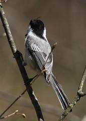 Black-capped Chickadee (Poecile  atricapillus) 05-01-2018 Green Ridge State Forest-Campsite 3, Allegany Co. MD 4 (Birder20714) Tags: birds maryland chickadees paridae poecile atricapiillus carolinensis hybrid
