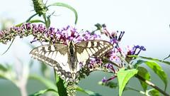 Butterfly - 5585 (ΨᗩSᗰIᘉᗴ HᗴᘉS +19 000 000 thx) Tags: macro fauna 7dwf butterfly nature hensyasmine namur belgium europa aaa namuroise look photo friends be wow yasminehens interest intersting eu fr greatphotographers lanamuroise tellmeastory flickering