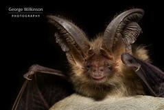 Brown Long-eared Bat (Plecotus auritus) (George Wilkinson) Tags: brown longeared bat plecotusauritus vespertilionidae canon 7d mk ii 60 macro wildlife bats chiroptera woodland