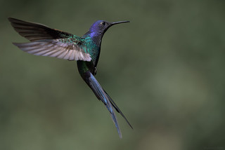 Swallow-tailed Hummingbird - beija-flor-tesoura (Eupetomena macroura)
