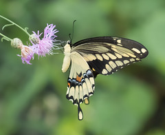 Giant Swallowtail and Knapweed (vischerferry) Tags: giantswallowtail butterfly insect lepidoptera knapweed papiliocresphontes swallowtail newyorkstate wildflower pinkwildflower