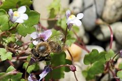 20180728_Biene (Giagl) Tags: biene wespe libelle garten natur chiemgau bayern