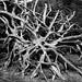 Baumwurzeln - Roots