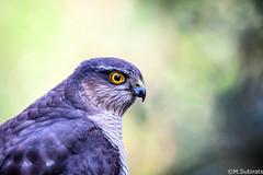 The eyes of the forest (The Little Window) Tags: predator sparrowhawk accipiternisus bird wild nature portrait eyes yellow female spain barcelona nikon d500 200500vr benro lensmastergimbal