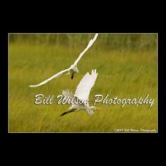 near miss (wildlifephotonj) Tags: wildlifephotographynj naturephotographynj wildlifephotography wildlife nature naturephotography wildlifephotos naturephotos natureprints birds bird birdphotography wadingbirds egret egrets egretsflight forsythenwr