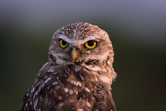 Portrait of a burrowing owl at sunset (jackielynn831) Tags: zanjeropark arizona nikon d7200 tamron 150600 nature sunset goldenhour burrowingowl birds wildlife owl