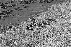 Hessle Foreshore  Monochrome (brianarchie65) Tags: hessleforeshore hessle riverhumber humberbridge seats birds remembranceseatnames boats scraped lapollution litter junk rubbish shore blackandwhite blackandwhitephotos blackandwhitephoto blackandwhitephotography blackwhite123 blackwhiterealms monochrome flickrunofficial flickr flickrcentral flickruk flickrinternational ukflickr geotagged brianarchie65 canoneos600d