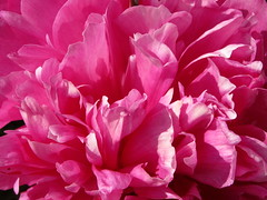 petals of peony of North (VERUSHKA4) Tags: canon europe russia northerneurope solovetskyarchipelago arkhangelskyregion island monastery flowerbed fleur peony petal solovetskymonastery nature summer summertime blossom july pink vue view flora light flame astoundingimage