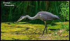 Grey Heron . (Diddley Bo) Tags: