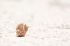 Hermit Crab (kuhnmi) Tags: crab hermitcrab krustentier shell schneckenhaus behausung animal tier fauna tierwelt wildlife strand sand beach beachlife einsiedlerkrebs krebs nature natur cuba kuba cayojutias cayojutías caribbean karibik paguroidea krabbeln macro makro seasnailshell small tiny winzig klein
