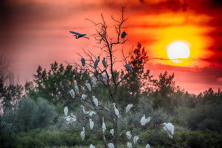 _DSC2098 Egrets Roost At Sunset