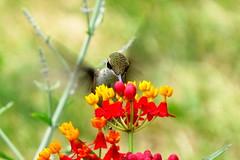 (*LiliAnn*) Tags: hummingbird mygarden nature