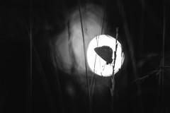 """They whisper promises in the dark"" (Joe Effendi (Always Late!)) Tags: effendi fuji fujifilm fujix xt10 pentaconav80mmf28 vlinder butterfly blauwtje commonblue florafauna nature natuur outdoor macro closeup projectorlens projectionlens depthoffield dof bokeh blackandwhite bw monochrome august augustus 2018"