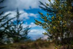 Yellow Flowers of the Highlands (shapeshift) Tags: trees plants latinamerica yuncaypata qosqo peru pe cusco cuzco nature flowers shapeshiftnet shapeshift davidphamsf davidpham d700 nikon hike bokeh southamerica highlands 50mm documentary