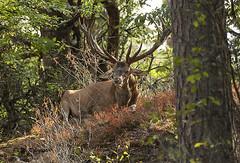 Edelhert / Cervus elaphus (m.ritmeester) Tags: ngc naturelovers natuur nederland hoenderloo hoge veluwe gelderland groen bruin rood zwart edelhert bomen