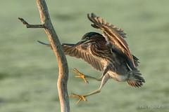 Think I will land on this branch. (Earl Reinink) Tags: bird animal water summer earlreinink flight landing perch heron wadingbird greenheron wildlife nature atddedzdza