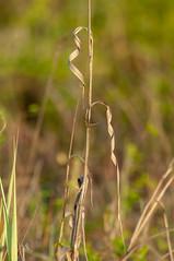 _DSC9640Twisted (Joe Meyer) Tags: nature plants cattail dunegrass santarosacounty florida