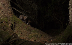 A Pair of Pine Martens (Alastair Marsh Photography) Tags: pine pinemarten pinemartens pineforest forest trees tree woodland woods wood animal animals animalsintheirlandscape wildlife britishwildlife britishanimals britishanimal britishmammals britishmammal mammal mammals mammalsociety nocturnal nocturnalwildlife nocturnalmammal nocturnalmammals night nightphotography nighttime wildlifeatnight cameratrap