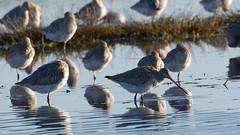 Bar-tailed godwit (DanD_NZ) Tags: birds newzealand nikkor200500mmf56 nikond500 miranda bartailedgodwit