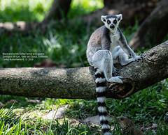 Black-and-white ruffed lemur and iguana (Magic life gallery) Tags: cali valledelcauca colombia co zoo zoologicodecali carlosbustamante carlosbustamanterestrepo lemur iguana