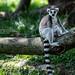 Black-and-white ruffed lemur and iguana