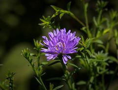 Flower (LuckyMeyer) Tags: gelb green lila violett flower fleur garden summer sun light makro blume blüte