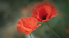 Coquelicot (@Kriss) Tags: kriss coquelicot poppy fleurs rouge nature macro
