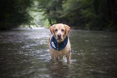 IMG_5258 (BernaPhotography) Tags: labradorretriever lab labrador dog pet yellow river nature serbia