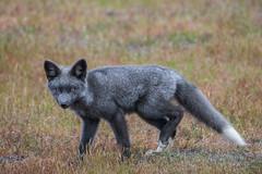 Silver fox (jeff's pixels) Tags: fox animal kit babies mammal nikon d850 wildlife nature