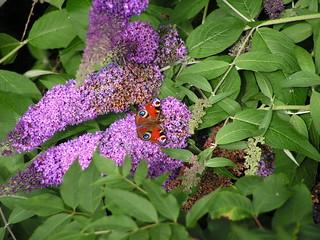 PICT0083 Peacock Butterfly - Aglais io