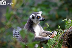 Ring-Tailed Lemur Climbing (Mike House Photography) Tags: safari park zoo animal wild wildlife green grass leaves browse tree trees sunny blue sky sun day time daytime africa african mammal fur furs live young lemur primate madagascar long tail fluffy ring tailed ringtailed
