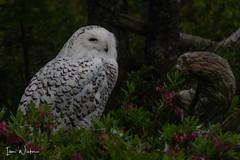 Snowy Owl-SNP-18-1 (Ian L Winter) Tags: ianwinter ianwinterphoto irishloop nature newfoundland snp salmoniernaturepark snowyowl www wwwianwinterphotocom