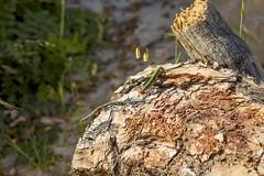 PVA_0010W Podarcis vaucheri. Grazalema spain (Priscilla (still more then 3yrs of photos to go th) Tags: podarcisvaucheri grazalemaspain podarcis lacertidae lizardsofspain reptilesofeurope herpingspain herpingeurope