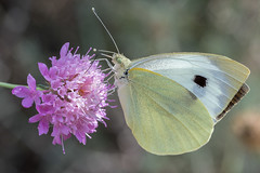 White large butterfly (Adrià Páez) Tags: white large butterfly insect bug animal nature macro flower pink bokeh canon eos 7d mark ii 60mm