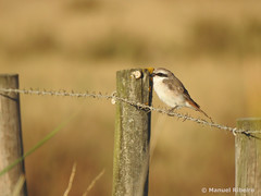zorro (m_Ribeiro) Tags: bird nature shrike