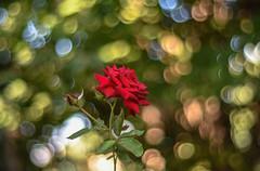 Roses (Torok_Bea) Tags: roses rózsa flowers bokeh bokehflower carlzeiss carlzeissplanar nikon nikond7200 garden gardenflower magicflower rose magicbokeh bokehbliss manuallens manual