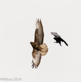 Buzzard v Crow